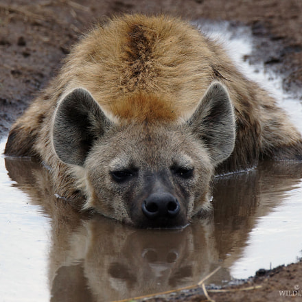 hyena in water 2016, Sony SLT-A77V, Tamron SP 150-600mm F5-6.3 Di USD