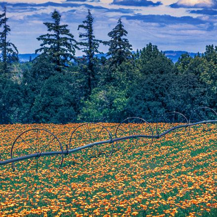 Wheeling Poppies, Canon EOS 50D, Canon EF 28-135mm f/3.5-5.6 IS