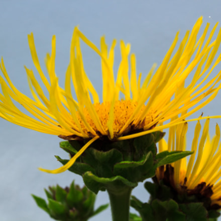 yellow crown, Canon EOS 60D, Canon EF-S 60mm f/2.8 Macro USM