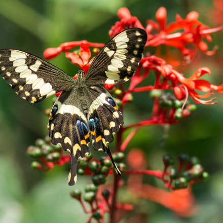 Lime Swallowtail butterfly 1, Nikon D7100, AF-S VR Micro-Nikkor 105mm f/2.8G IF-ED
