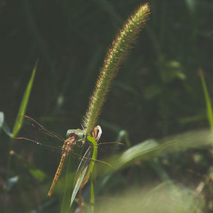 Dragonfly, Canon EOS 600D, Canon EF 28-135mm f/3.5-5.6 IS