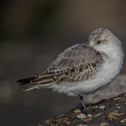 Sanderling resting on the, Canon EOS-1D MARK IV, Canon EF 500mm f/4L IS + 1.4x