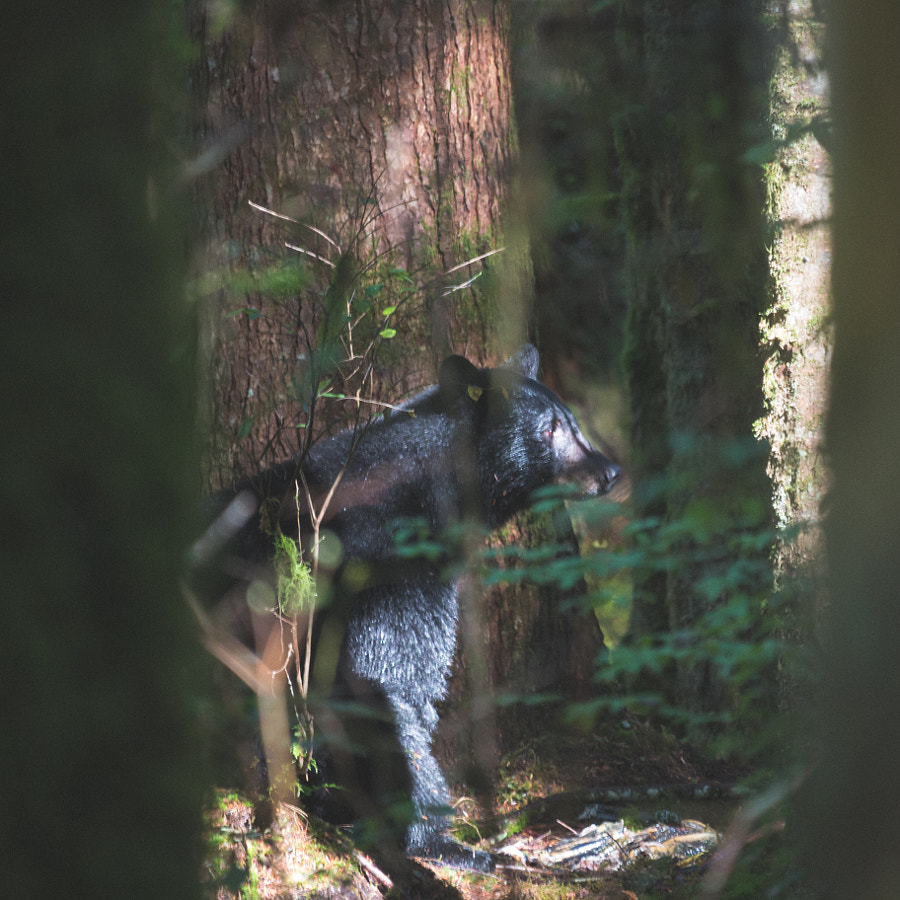 If a bear sits in the woods by Mack Bartlett on 500px.com