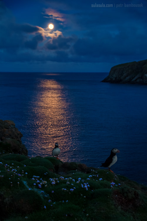 Photograph Midnight Puffin by Petr Bambousek on 500px