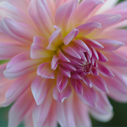 Blooming Pink, Canon EOS 70D, Canon EF-S 60mm f/2.8 Macro USM