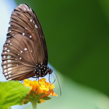 Butterfly, Canon EOS 6D, Canon EF 100mm f/2.8 Macro USM