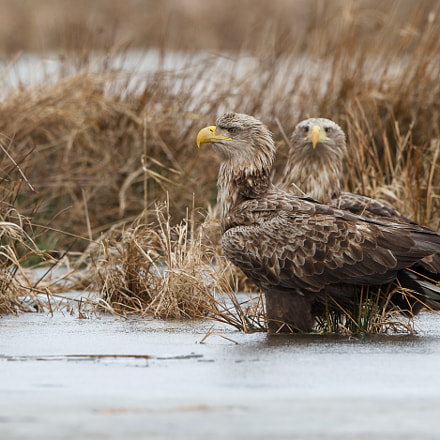 European White tailed eagle, Canon EOS 7D, Canon EF 500mm f/4L IS