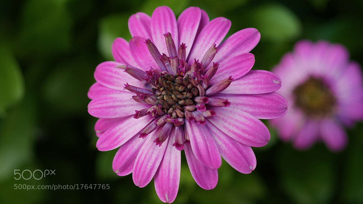 Photograph African Daisy by Zack Parton on 500px