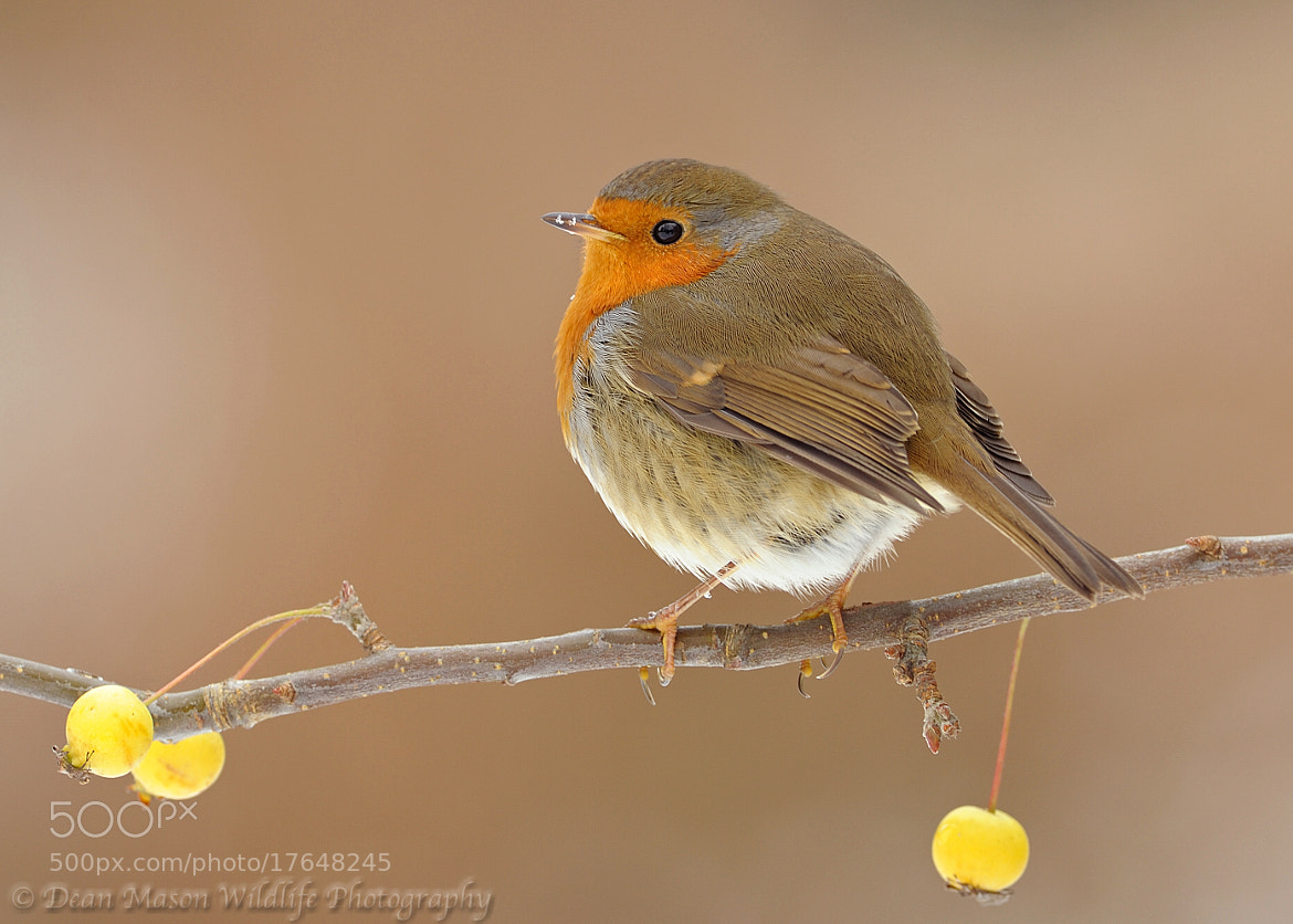 Photograph Frosty Robin by Dean Mason on 500px