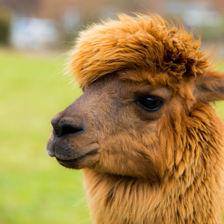 Alpaca in Kent, Canon EOS 6D, Canon EF 70-200mm f/4L IS