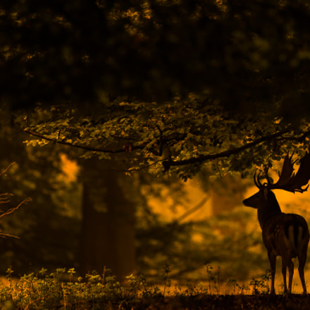 Fallow Deer, Canon EOS-1D X, Canon EF 500mm f/4L IS