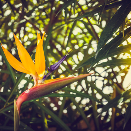 Papageienblume - parrot flower, Canon EOS 700D, Canon EF-S 18-55mm f/3.5-5.6 IS STM