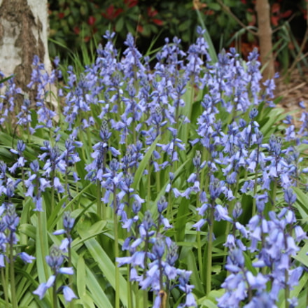 Bluebells, Canon EOS 700D, Canon EF-S 18-55mm f/3.5-5.6 IS STM