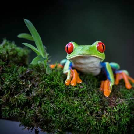 Red-eyed Tree Frog, Canon EOS-1D X, EF100mm f/2.8L Macro IS USM