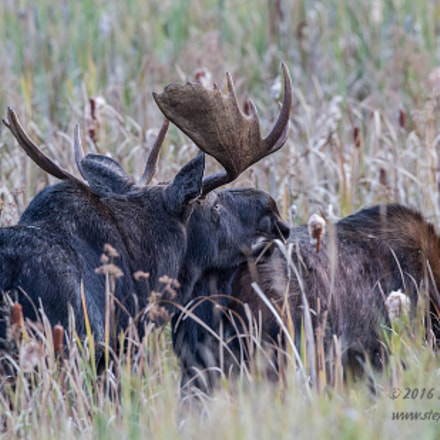 Moose Courtship, Canon EOS 7D, Canon EF 500mm f/4L IS