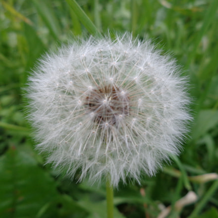 Dandelion with white fuzz, Sony DSC-W730