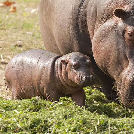 Baby Hippo, Canon EOS KISS X3, Canon EF 100-400mm f/4.5-5.6L IS II USM