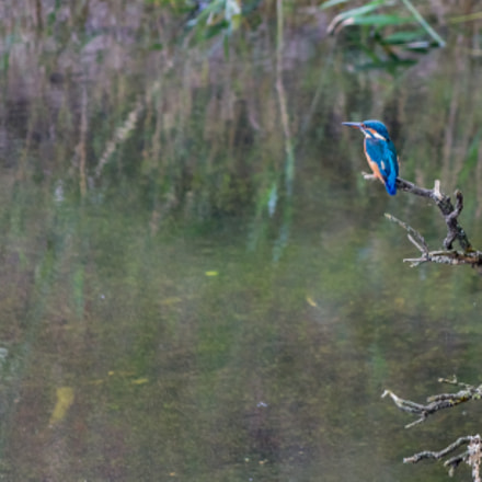 Common Kingfisher, Canon EOS 700D, Canon EF-S 55-250mm f/4-5.6 IS II