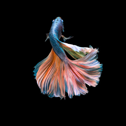 Colorful Fighting Fish, Canon EOS 70D, EF100mm f/2.8L Macro IS USM
