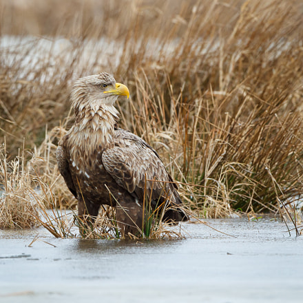 White tailed eagle/ Zeearend, Canon EOS 7D, Canon EF 500mm f/4L IS