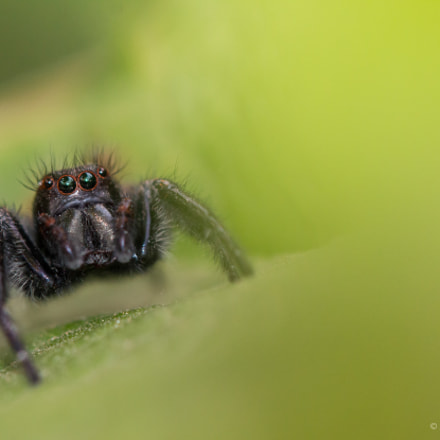 Black Jumping spider, Canon EOS 70D, EF100mm f/2.8L Macro IS USM