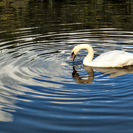 Swan, Nikon D200, Sigma 24-70mm F3.5-5.6 Aspherical HF