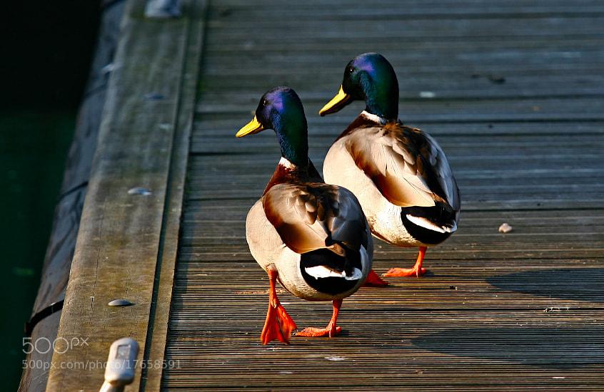 Photograph marching ducks by Kamran Efendioglu on 500px