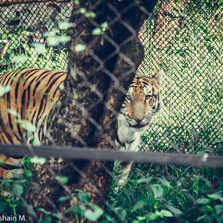 Tiger under zoo arrest, Canon EOS 500D, Canon EF-S 55-250mm f/4-5.6 IS II