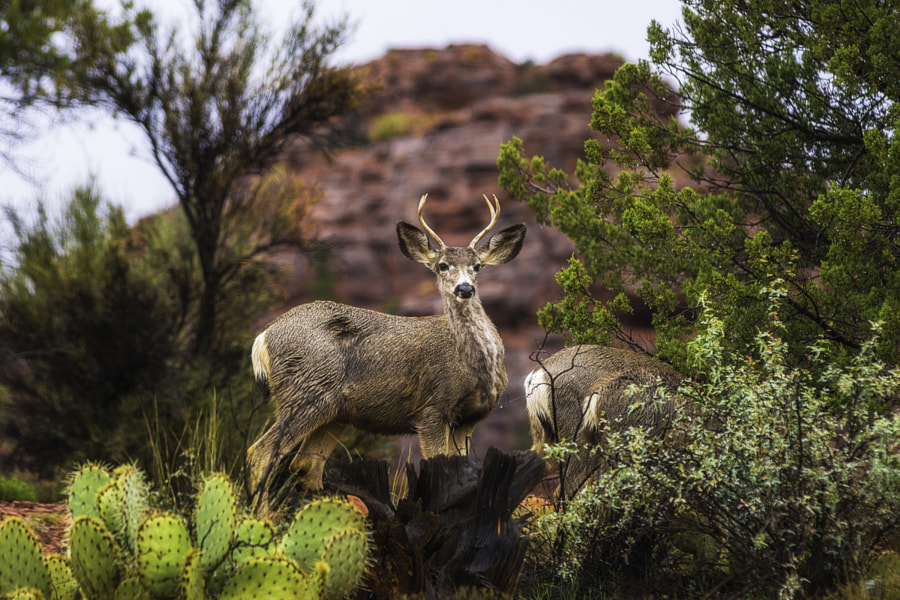 The Deer of Sedona