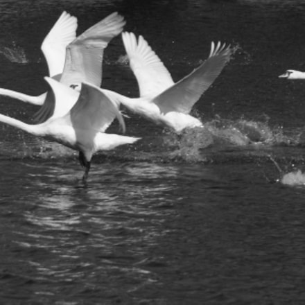 swans in motion, Sony DSLR-A100, Tamron AF 18-200mm F3.5-6.3 XR Di II LD Aspherical [IF] Macro