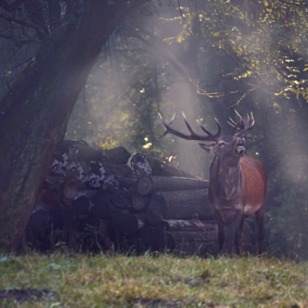 Stag in morning light, Canon EOS 70D, Canon EF-S 55-250mm f/4-5.6 IS STM