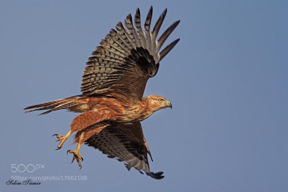 Photograph Kızıl şahin » Buteo rufinus » Long-legged buzzard by selim tümir on 500px