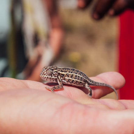 Tiny Chameleon, Canon EOS 600D, Canon EF 24-105mm f/4L IS