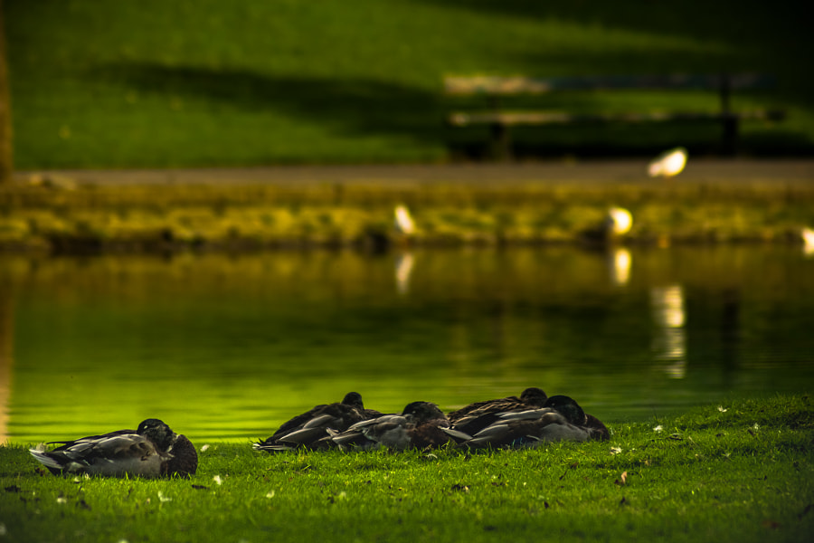 Sleeping Ducks Thompson Park by Lucas P Puch on 500px.com