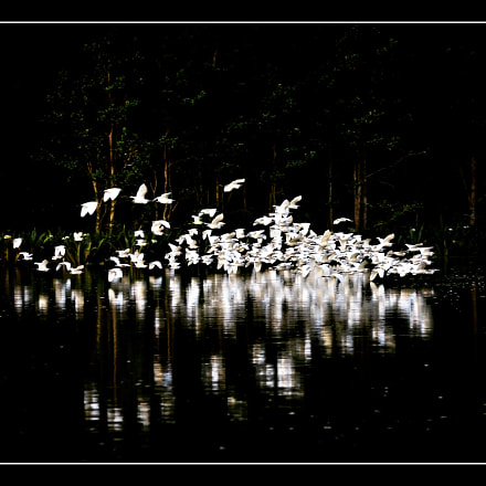 Cattle Egrets flocking on, Canon EOS-1D MARK III, EF100-400mm f/4.5-5.6L IS USM +1.4x