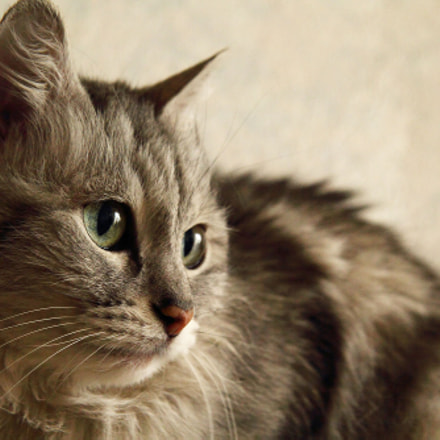 cat looks, Canon EOS 60D, Canon EF-S 17-85mm f/4-5.6 IS USM