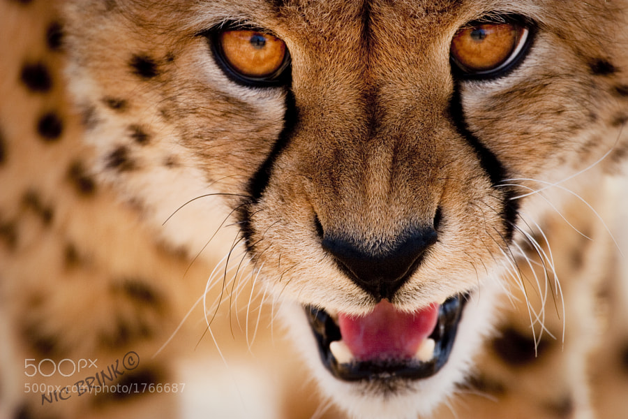Photograph Cheetah Stare by Nicholas Brink on 500px
