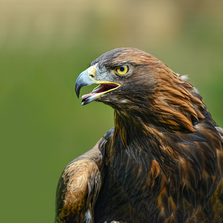 The Golden Eagle, Nikon D800, AF-S Nikkor 80-400mm f/4.5-5.6G ED VR