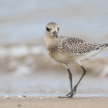 Grey plover, Canon EOS 7D MARK II, Canon EF 500mm f/4L IS