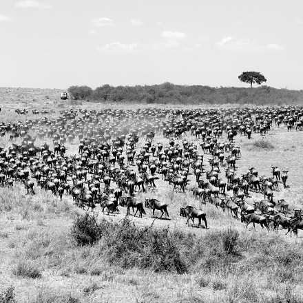 The great migration, Nikon D800, AF-S Nikkor 80-400mm f/4.5-5.6G ED VR