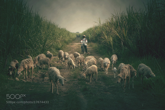 Photograph my sheep by Teuku Jody  Zulkarnaen on 500px