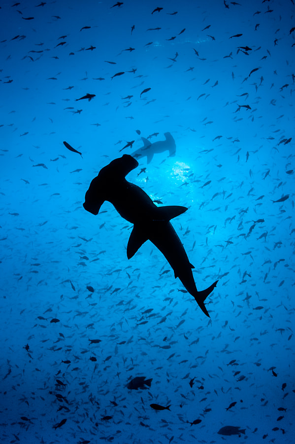 Hammerhead Silhouete at Wolf lsland, Galapagos