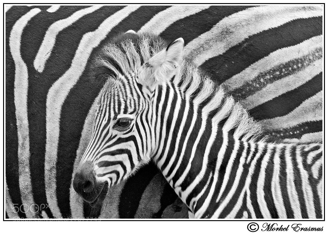Photograph zebrArt by Morkel Erasmus on 500px