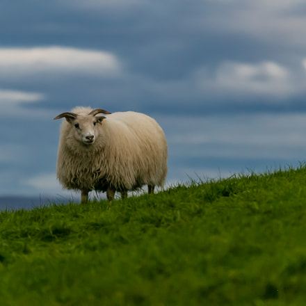 ICELAND-Mývatn-Sheep