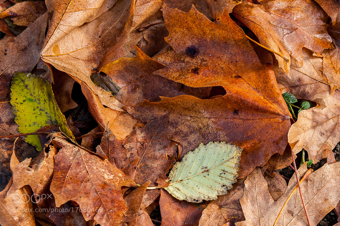Photograph Fallen Maple Leafs by Alan Story on 500px