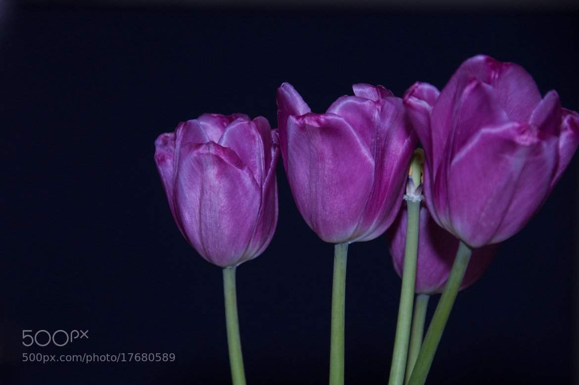 Photograph Tulips by Alan Story on 500px