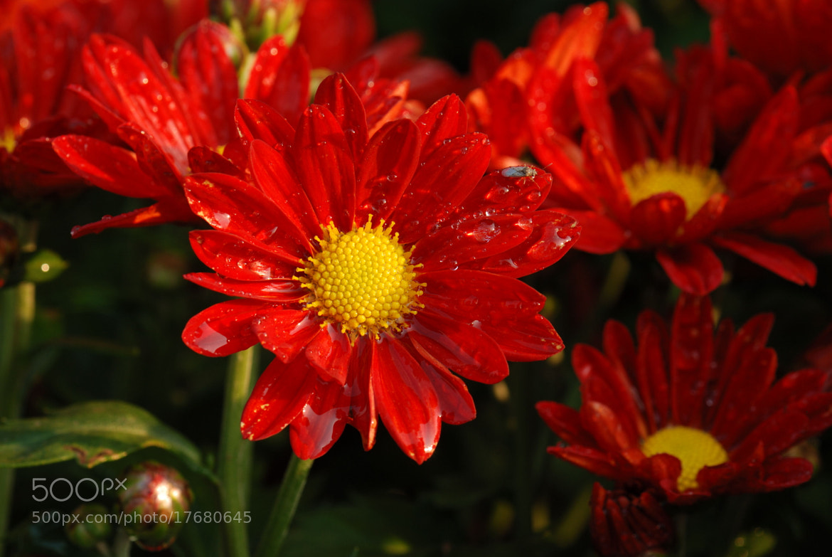 Photograph 菊花4 by No Rain on 500px