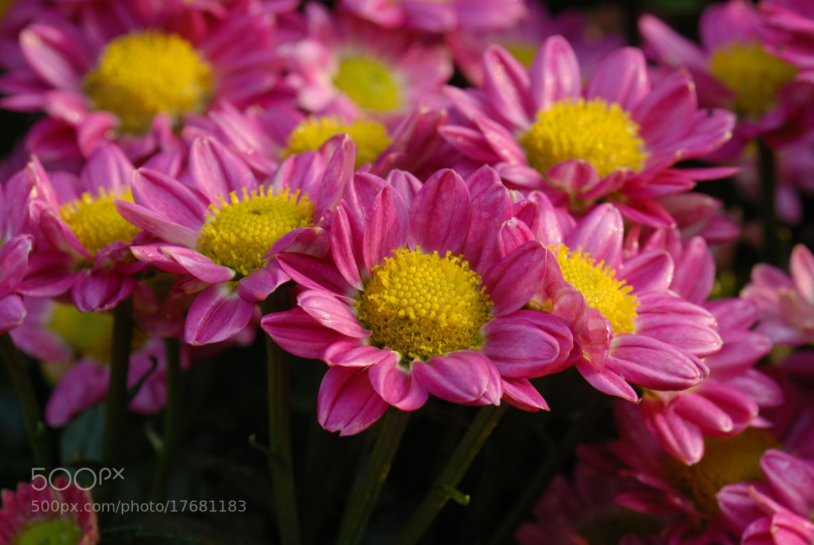Photograph 菊花 by No Rain on 500px