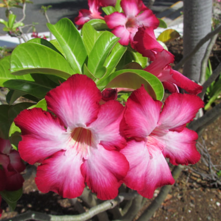 Official Island Flower, Canon POWERSHOT SX30 IS