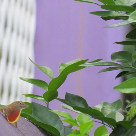 Angry Anole, Canon POWERSHOT SX30 IS